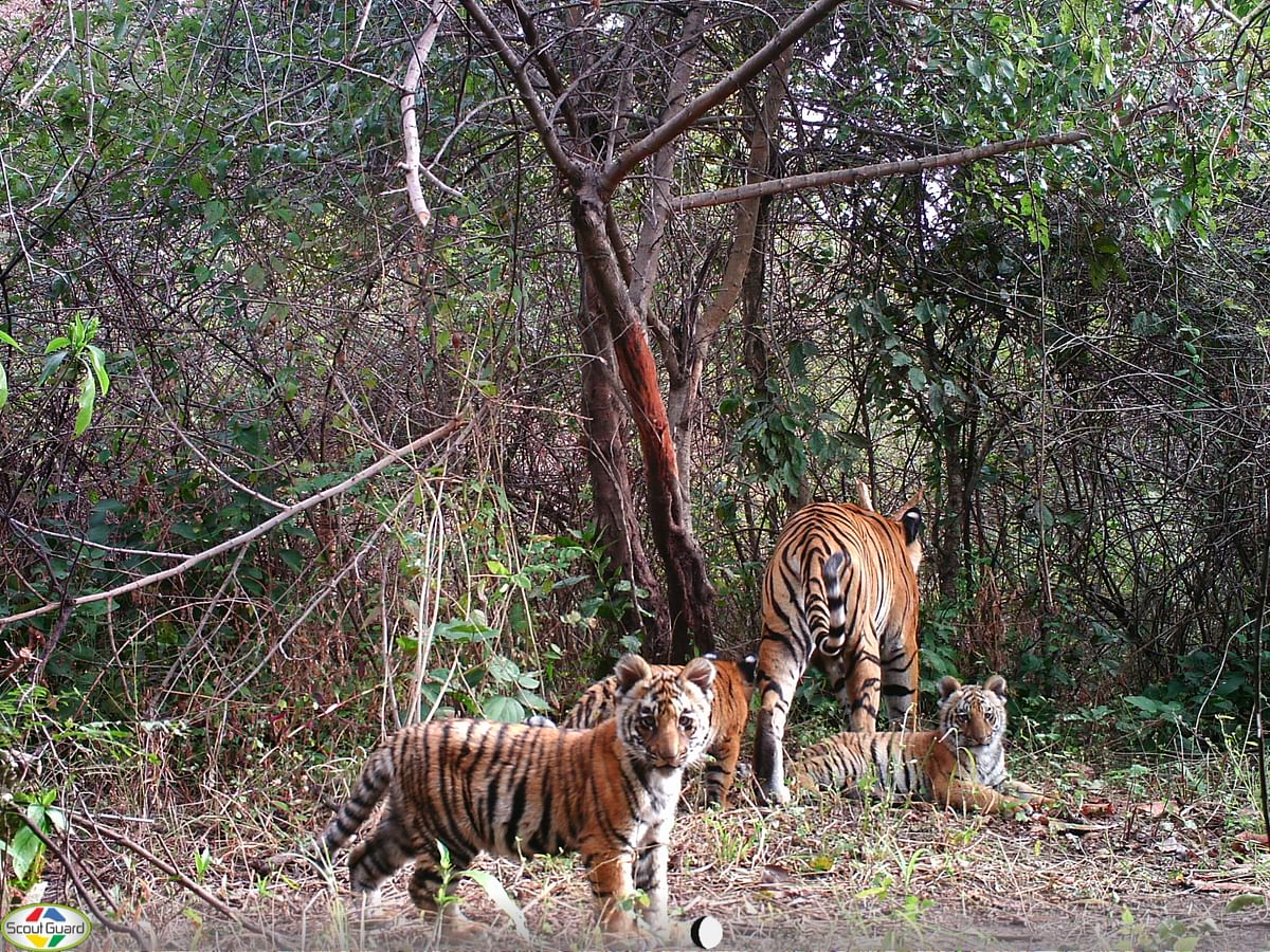 Demographic and ecological correlates of a recovering tiger (Panthera tigris) population: Lessons learnt from 13-years of monitoring