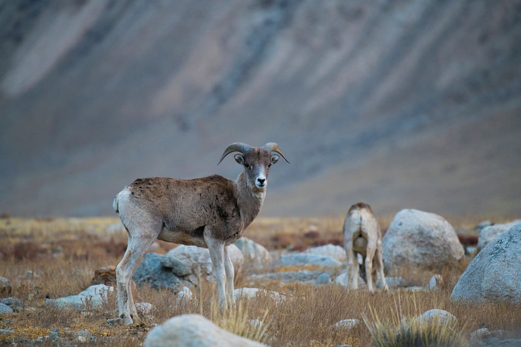 Understanding population baselines: status of mountain ungulate populations in the Central Tien Shan Mountains, Kyrgyzstan.