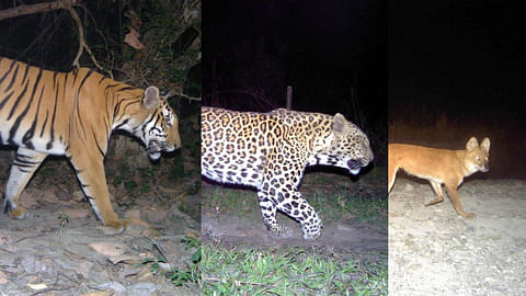 Inferring patterns of sympatry among large carnivores in Manas National Park – a prey‐rich habitat influenced by anthropogenic disturbances