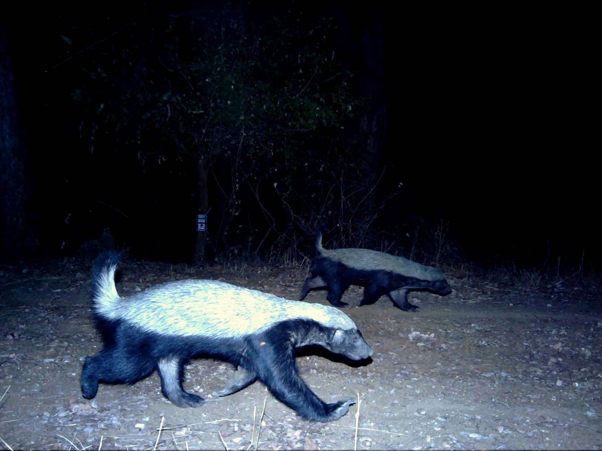Photographic records of the Ratel Mellivora capensis from thesouthern Indian state of Karnataka