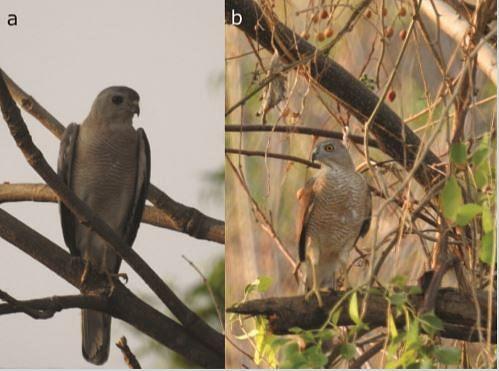 Nesting behaviour and diet of the Shikra Accipiter badius in Ajanta, Maharashtra