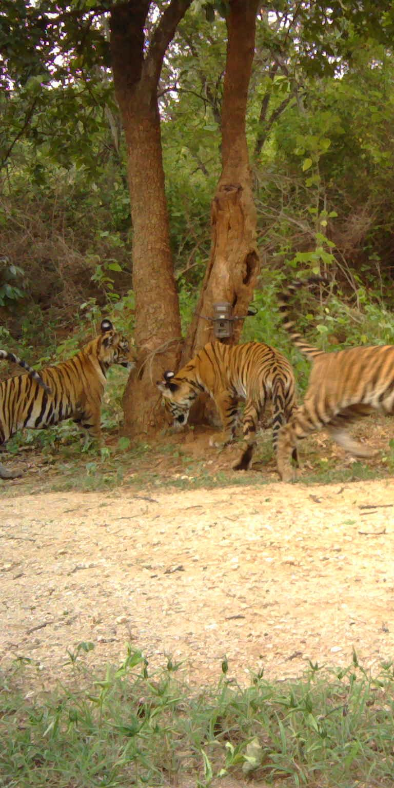 Evaluating a survey landscape for tiger abundance in the confluence of the Western and Eastern Ghats