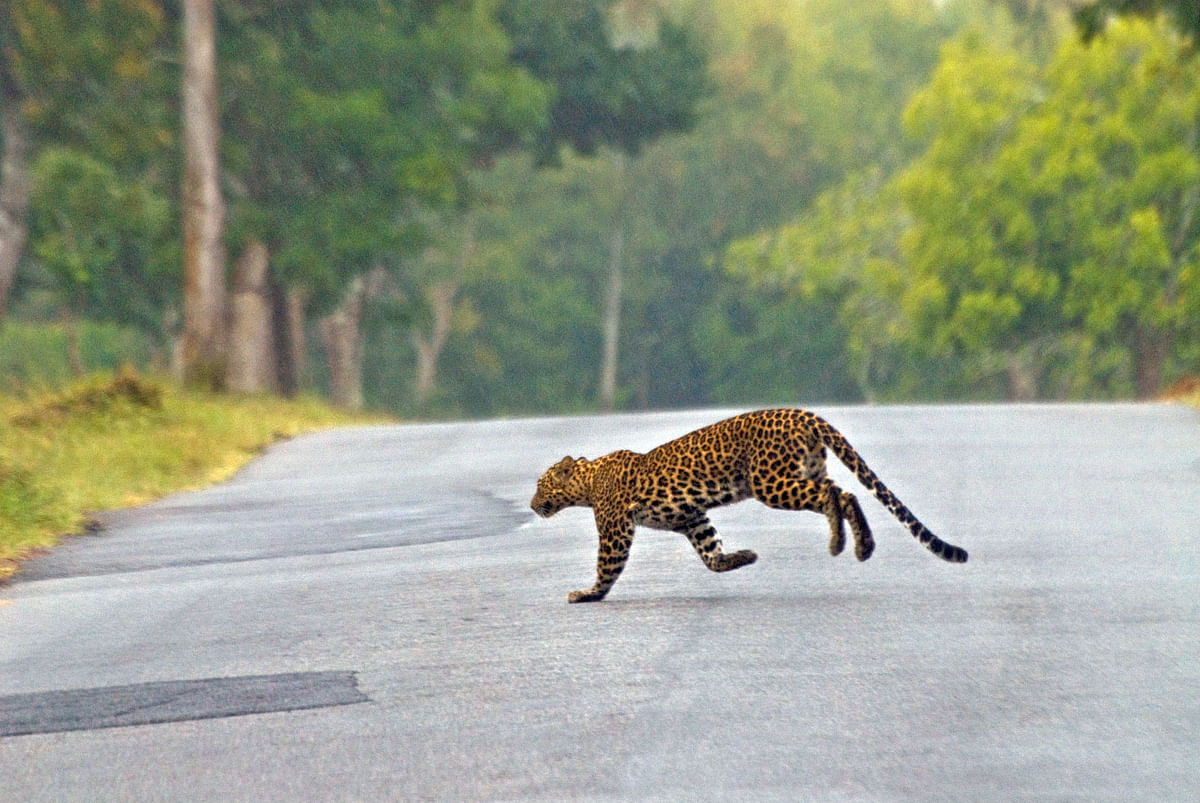 Roads emerging as a criticalthreat to leopards in India?