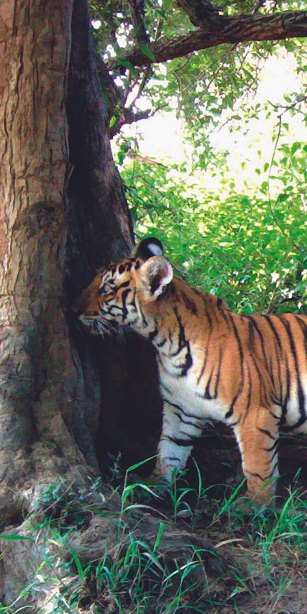 From intent to action: A case study for the expansion of tigerconservation from southern India