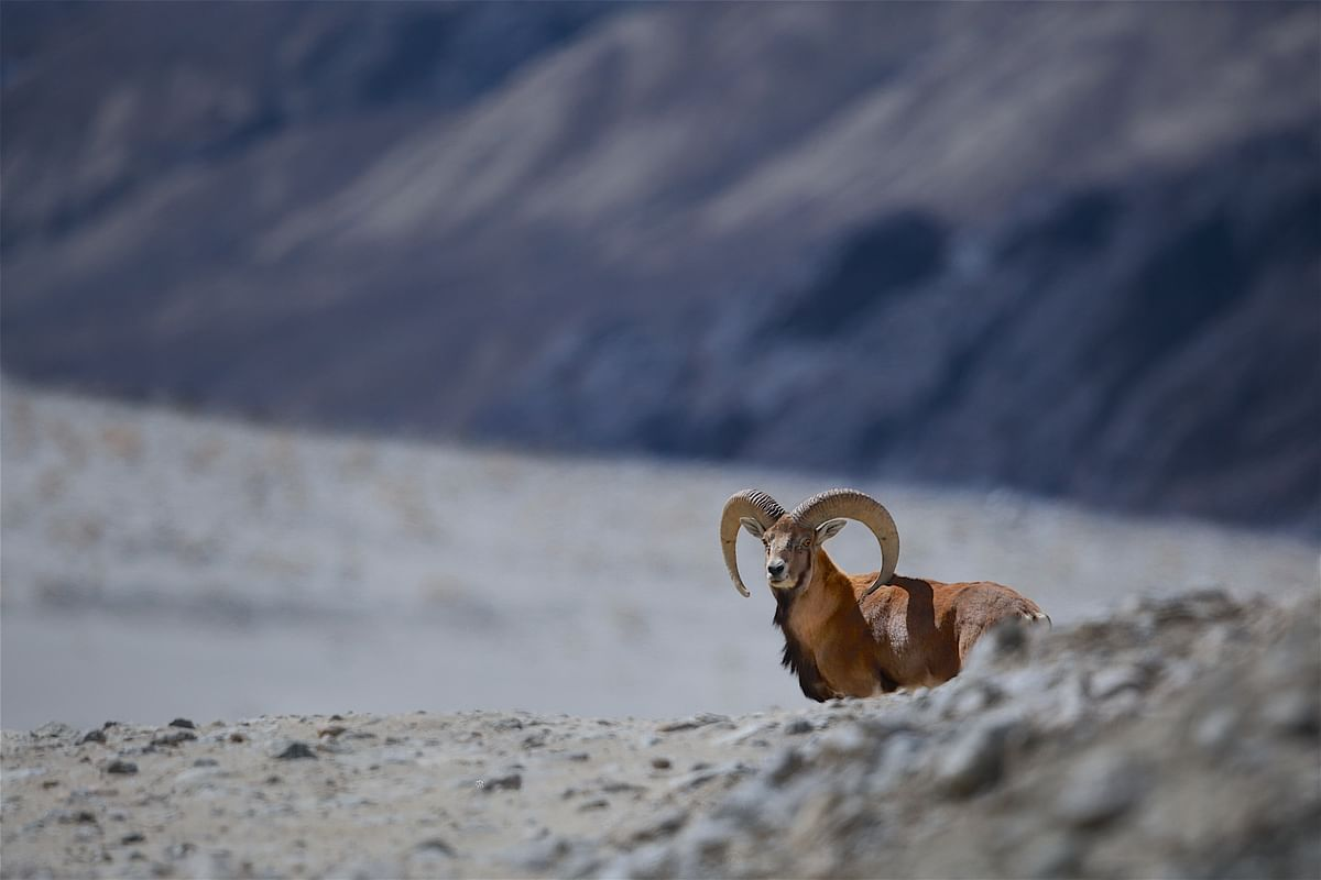 The forgotten mountain monarch? Understanding conservation status of the vulnerable Ladakh Urial in India