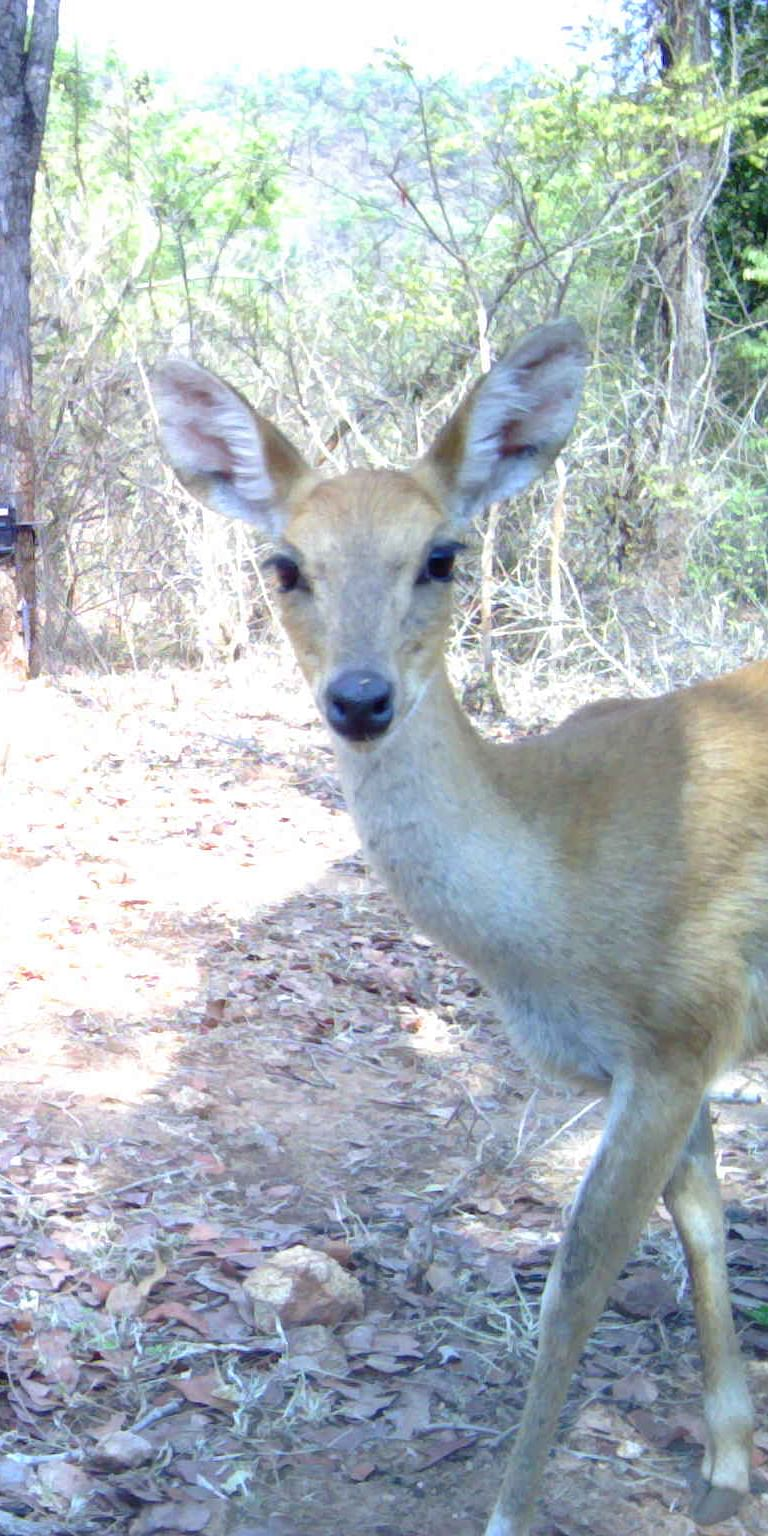 Two new records of distribution of four-horned antelope (Tetracerus quadricornis)