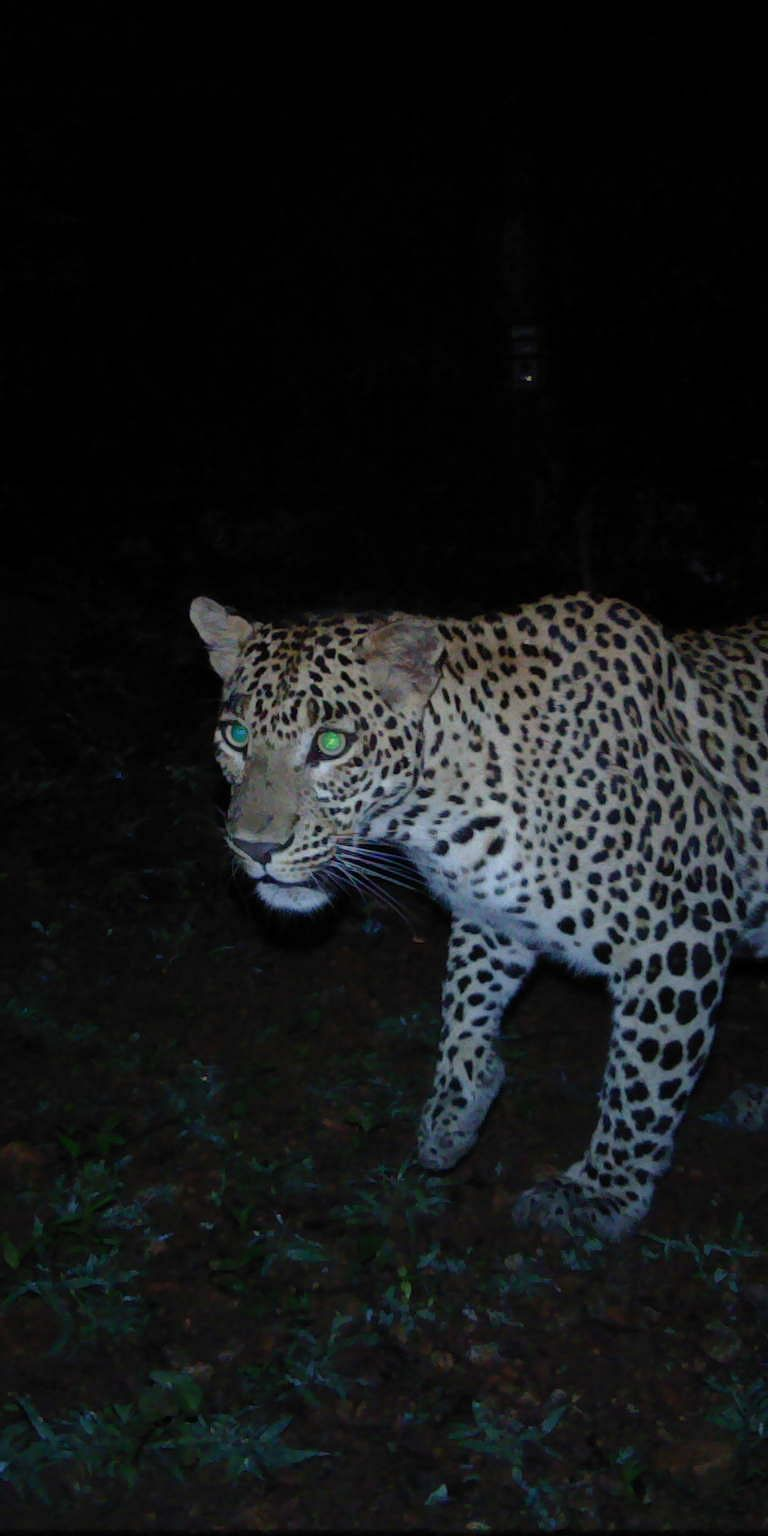 Tracing the geographic origin of traded leopard body parts in the Indian subcontinent with DNA-based assignment tests
