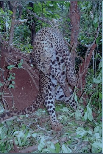 Quantifying Wire Snares as a Threat to Leopards in Karnataka, India