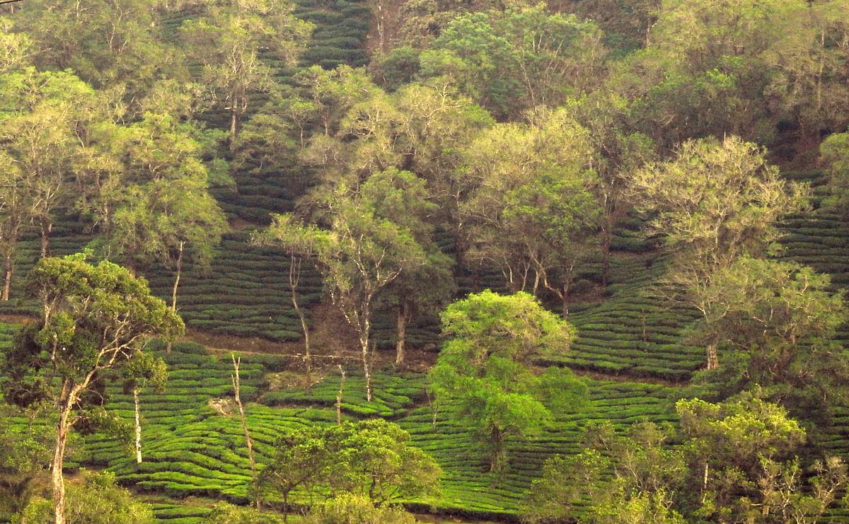 Tea plantation with native shade trees in the Anamalai Hills
