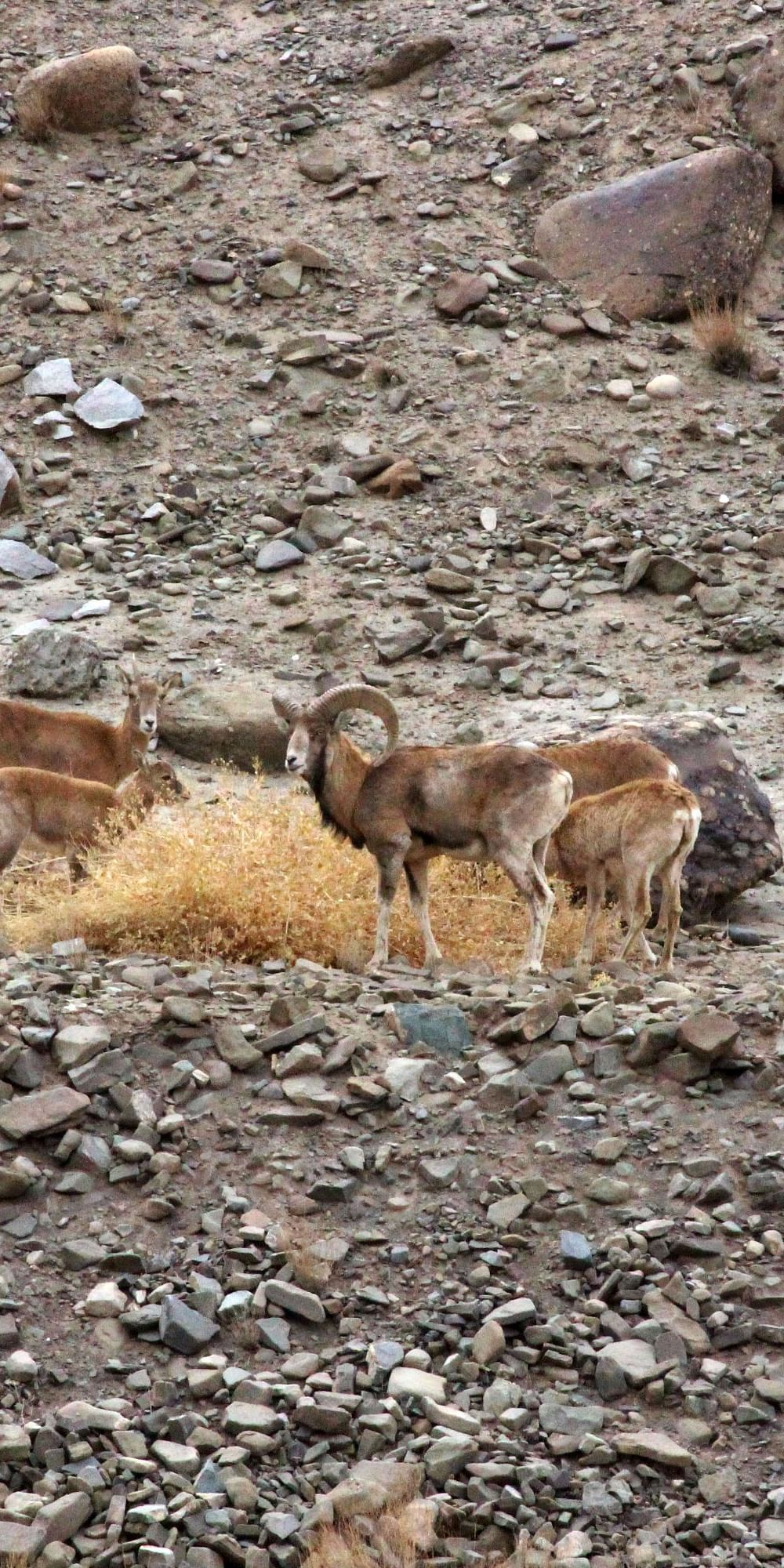 Understanding distribution, population density and conservation status of the endemic and threatened Ladakh urial Ovis orientalis vignei