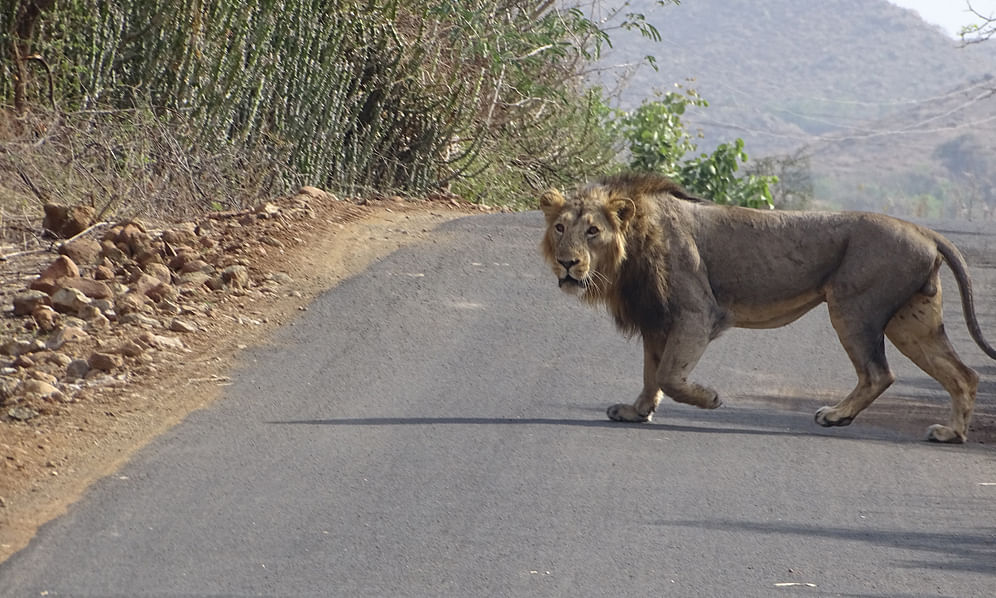 File photo of an Asiatic Lion