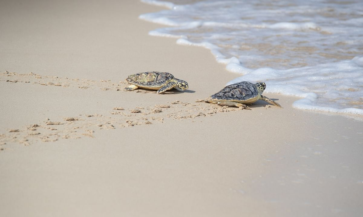 Dubai's Jumeirah  Group releases 65 Hawksbill turtles into the wild  on World Sea Turtle Day