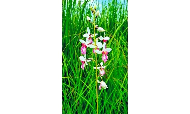 Rare orchid in Dudhwa found bearing seeds after a century