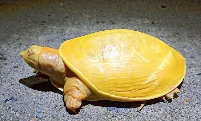 A picture shared by Indian Forest Service officer Susanta Nanda of a rare yellow turtle that was spotted and rescued in  Balasore, Odisha on October 19, 2020.