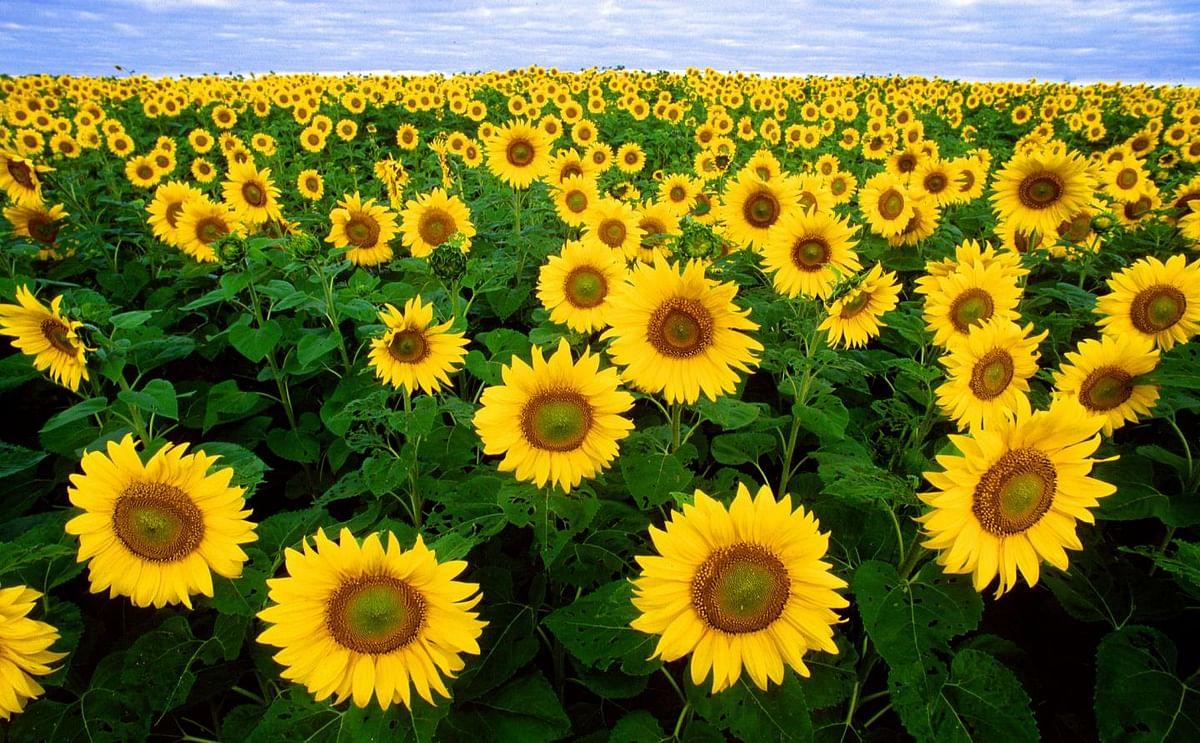 Sunflower seeds and oil are a particularly good dietary source of vitamin E.