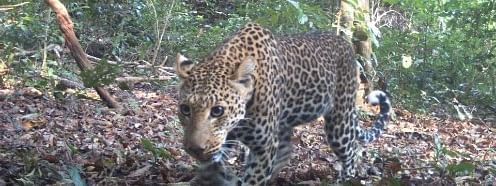 A leopard captured by the scientist's camera trap.