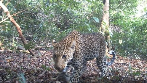 The surprising rhythms of leopards: Females are early birds, males are nocturnal