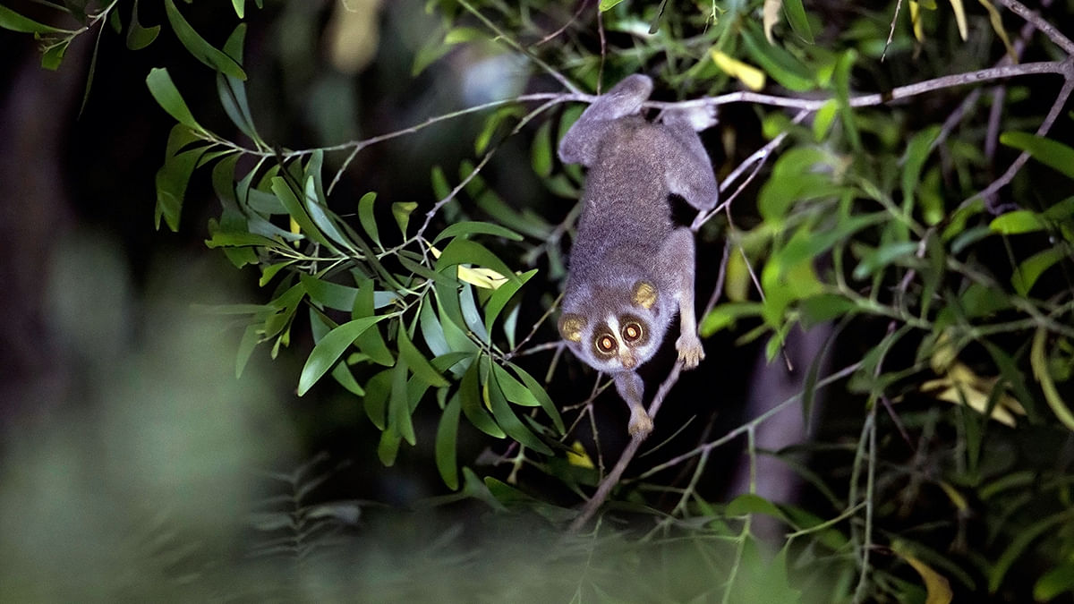 The slender loris struggles to find canopy in Bengaluru