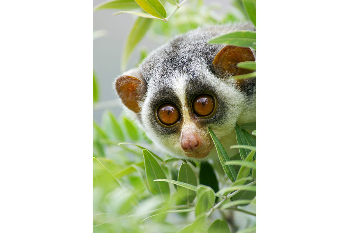 The grey slender loris, which spends most of its time in canopies, is found across peninsular India and parts of Sri Lanka. The animal is also found in a busy city such as Bengaluru.
