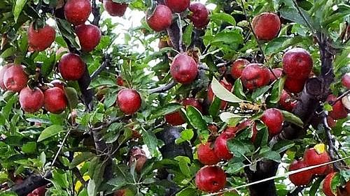 Cabinet okays extension of Market Intervention Scheme for apple procurement in J & K for 2020-21