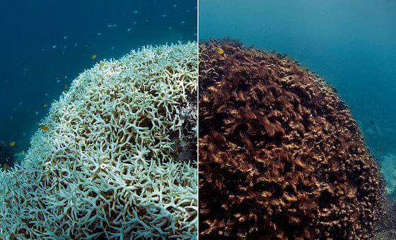 Coral bleaching: after (left) and before (right)