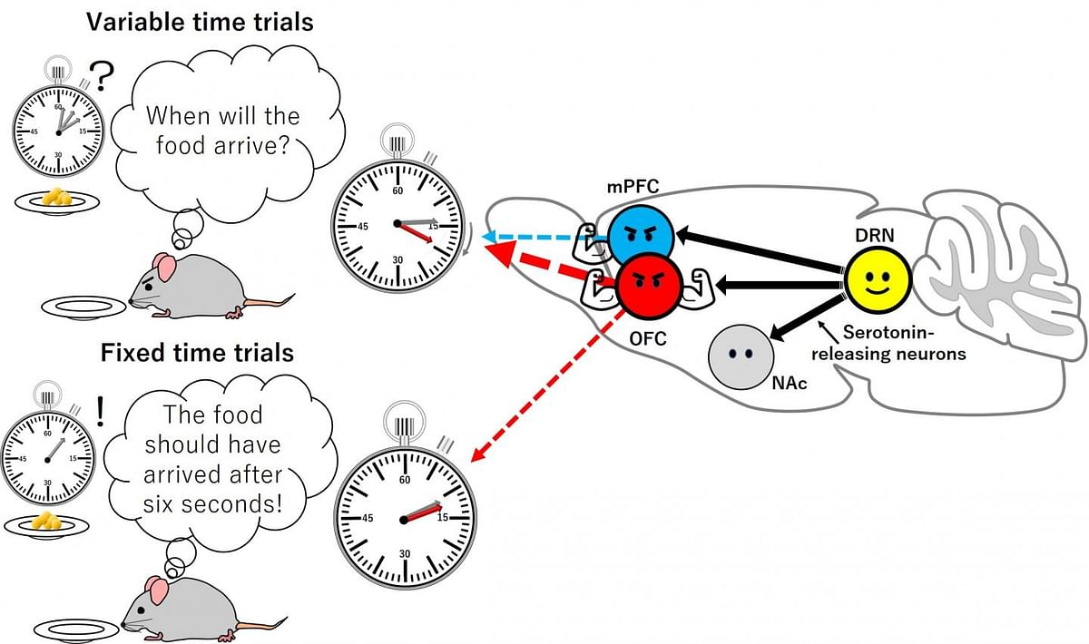 The scientists studied the effect of stimulating serotonin-releasing neurons (black arrows) in the medial prefrontal cortex (mPFC), the orbitofrontal cortex (OFC) and nucleus accumbens (NAc) on waiting time, under variable time trials (e.g. food delivered after 2,6 or 10 seconds) and under fixed time trials (e.g. food delivered after 6 seconds). No effect was seen when neurons in the NAc were stimulated. A weak effect led to a small increase in waiting time when neurons in the mPFC were stimulated in variable time trials. A strong effect was seen when neurons in the OFC were stimulated in variable time trials and a weak effect was seen in fixed time trials. The thickness of the dashed arrows indicate the strength of the effect.