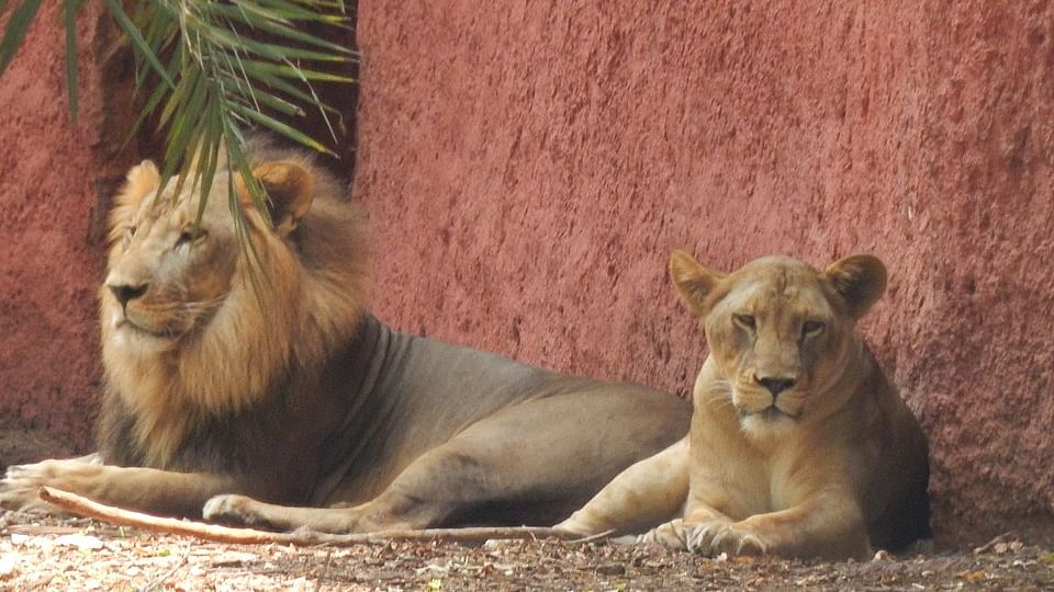 Eight Asiatic lions in Hyderabad zoo infected with COVID, recovering well