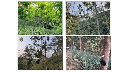 Traditional pineapple agroforestry systems can address challenges of climate change, biodiversity loss