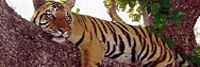 India's Tiger Census sets a new Guinness Record for being the world's largest camera trap wildlife survey