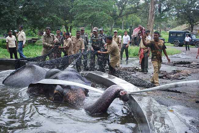 Forest officials trying to rescue a wild elephant which fell into a pond at Bengdubi near Siliguri in West Bengal on September 2, 2011. UNI PHOTO
