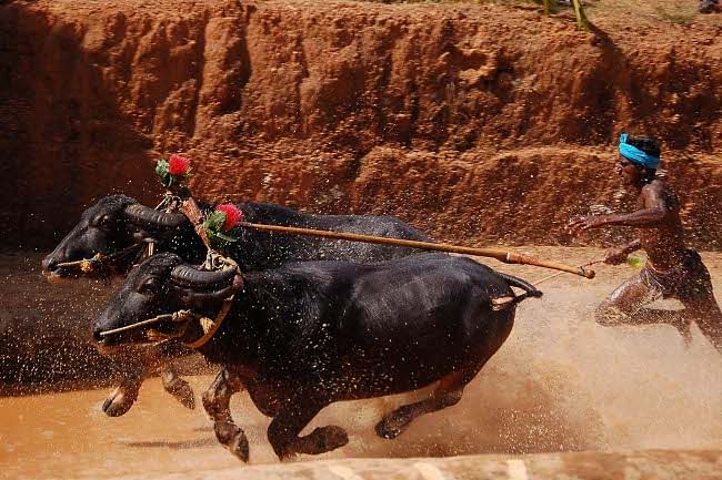 A moment of action during the main attraction and distinct feature of Kambala (Buffalo Race), at  Pilikulanear Mangalore as part of the  17th National Youth Festival on January 15, 2012. UNI PHOTO
