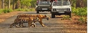 India in leadership role in tiger conservation, will share best practices: Javadekar