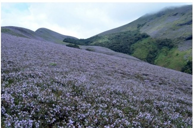 The kurinji bloom in the shola-grassland ecosystem in 2014. (Photo by Prasad Ambattu/IANS)