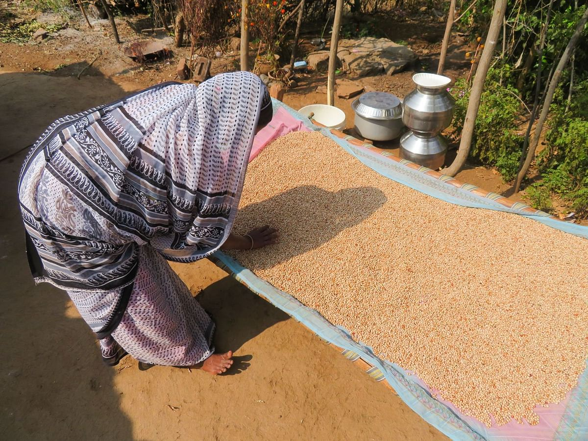 Geeta Valavi spreading kidney beans on a charpoy; she cultivates one acre in Barispada without her husband's help. His harassment over the years has left her with backaches and chronic pains.