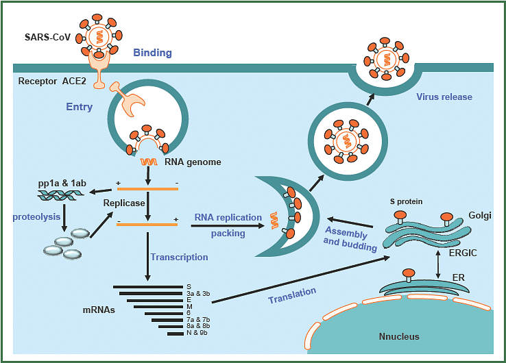 The life cycle of SARS-CoV. As shown in this figure, SARS-CoV starts its life cycle when it binds to receptor ACE2 on the target cell via its S protein. The virus particle is taken up the cell. Its S protein changes conformation to facilitate release of RNA genome into the target cell. The mRNA of the virus is translated into some proteins which in turn aid in replicating the genomic RNA and other proteins which are important for assembling new viral particles containing the replicated genomic RNA and proteins. These particles are subsequently released out of the target cell.