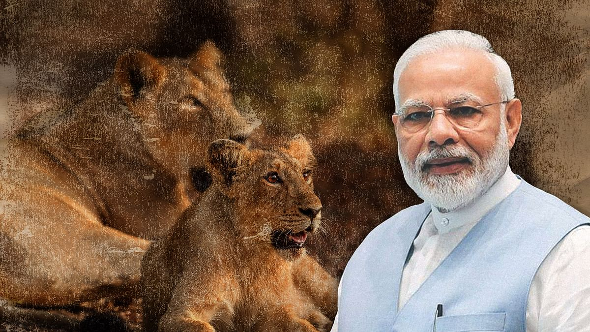 गिर में शेर मर रहे, कूनो में इंतजार है, और गुजरात सरकार जिद पर अड़ी है
