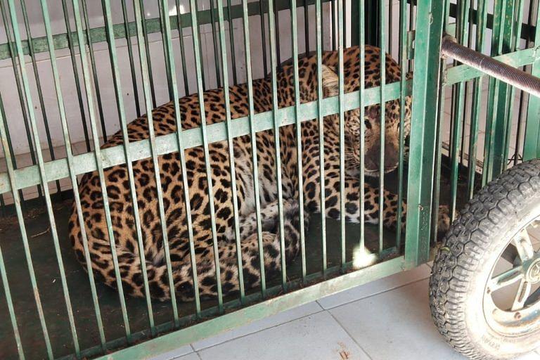 अलमोरा में इलाज के लाया गया तेंदुआ