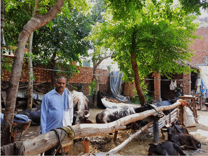 Randhir Saini with his buffaloes.