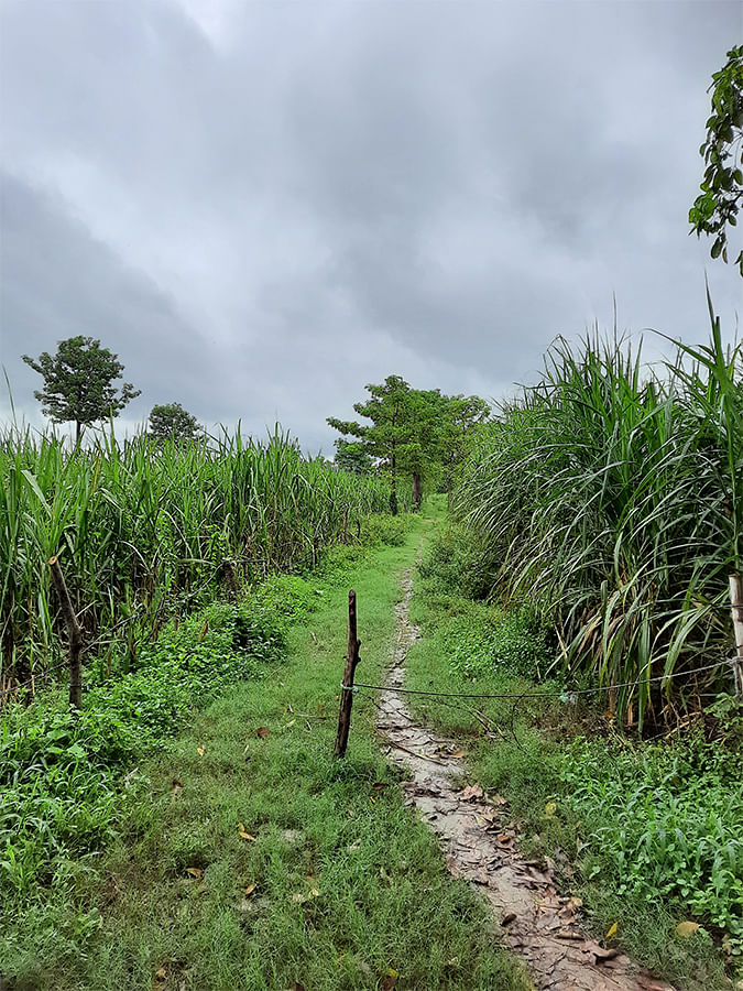 The path leading to the sugarcane field.