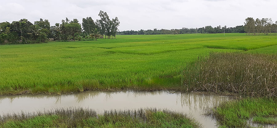 Saltwater flooding the paddy fields.