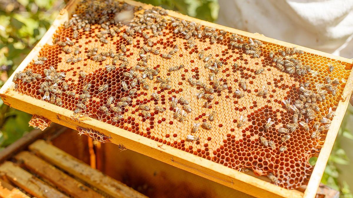 हनीफ्रॉड खुलासे का असर: मधुमक्खी पालकों को पांच साल बाद मिल रही शहद की दोगुनी कीमत