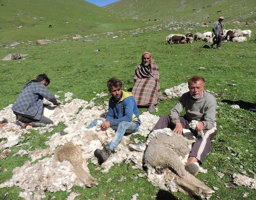 भेड़ से ऊन निकालते ग्रामीण