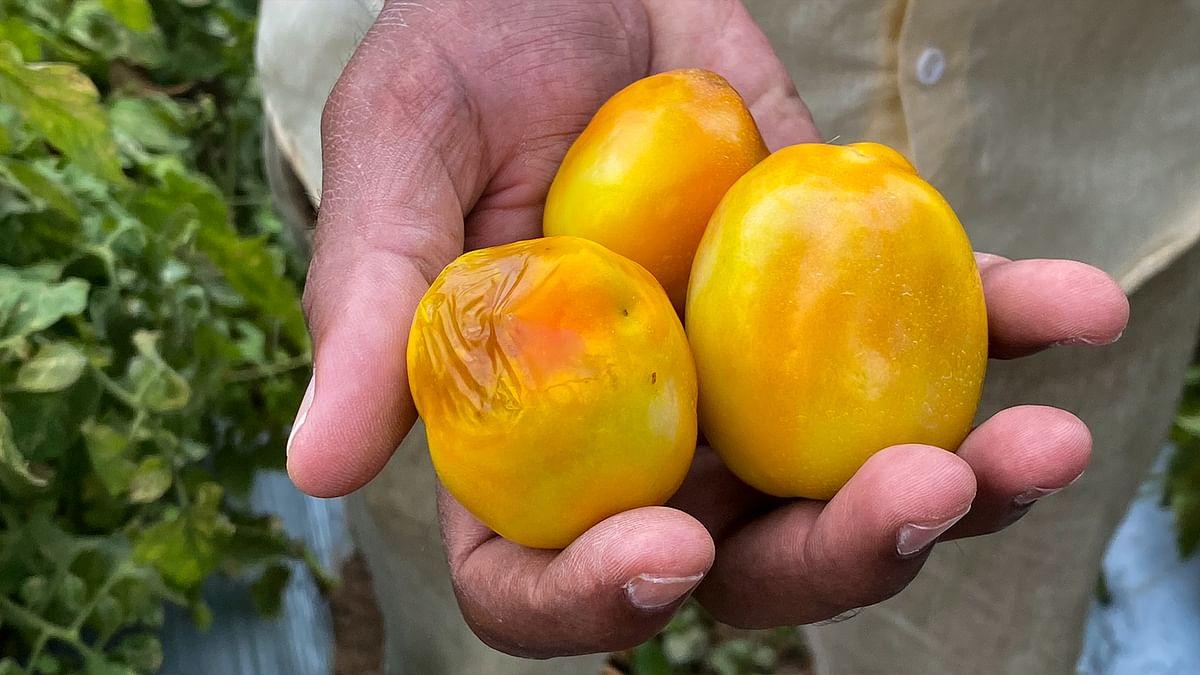 Tomato virus and Covid lockdown slash farmer incomes in Maharashtra's Ahmednagar
