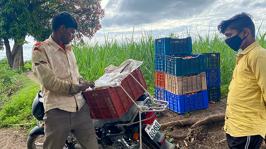 Govind Agawale, a vatikar, packing tomatoes to send to the market.