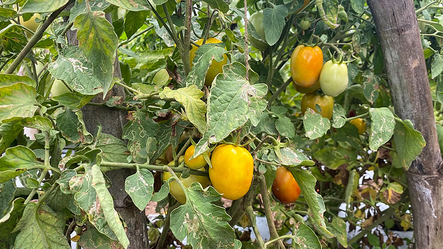 Bharat's tomatoes affected by CMV.