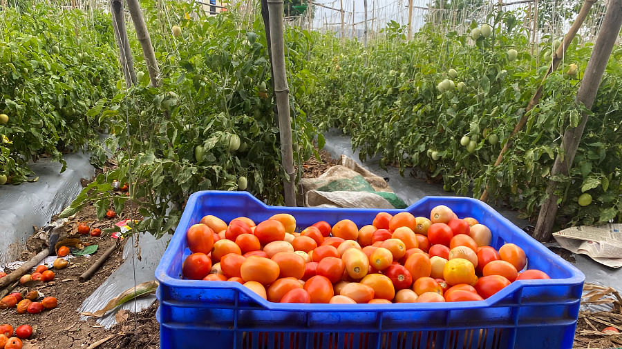 Tomatoes being packed into crates.