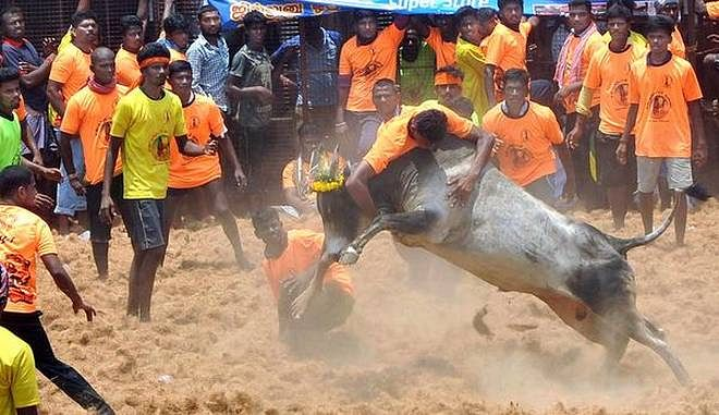 Jallikkattu: one youth gored to death by bull