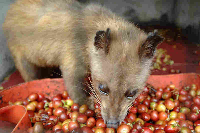 World's most expensive coffee made with Civet poop