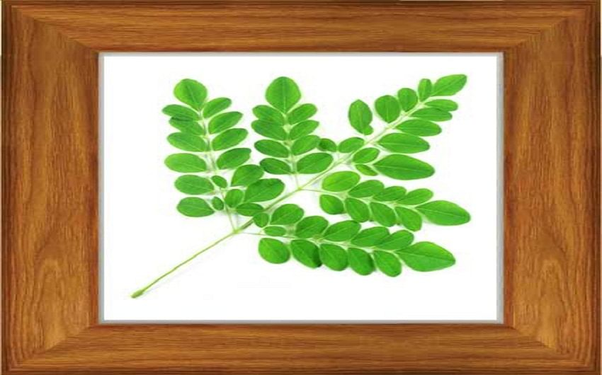 Wondrous Moringa Leaves