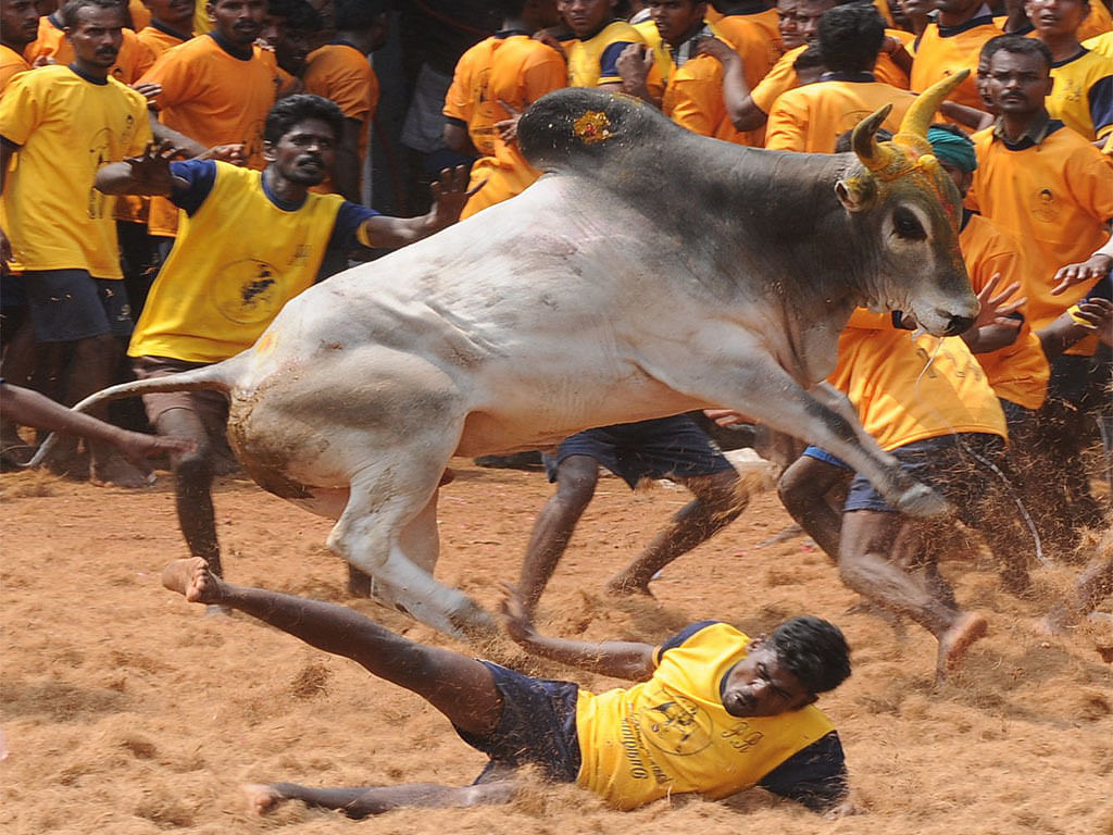 Jallikattu: Two more die; death toll continues to rise